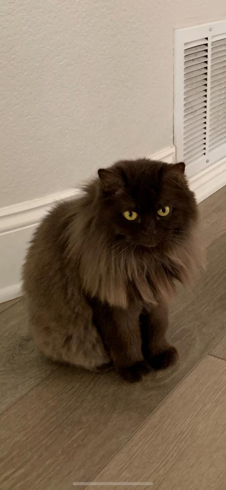 Image of Coco, Lost Cat