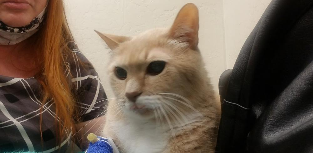 Image of Simba, Lost Cat