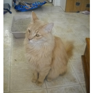 Image of Benny, Lost Cat