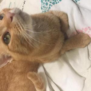 Image of Ginger, Found Cat