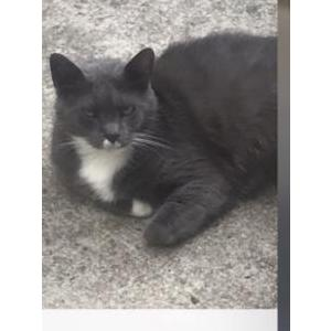 Lost Cat Tommy