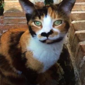 Image of Callie, Lost Cat